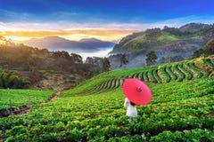 Asiatin, die Vietnam-Kultur traditionell im Erdbeergarten auf Doi Ang Khang, Chiang Mai, Thailand trägt lizenzfreie stockbilder