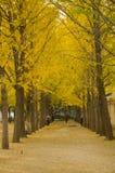 Asiatique Chine, Pékin, avenue de paysage de ginkgo Photo libre de droits