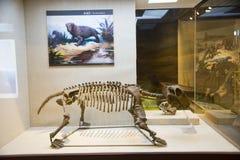 Asiatique Chine, Pékin, musée de hall d'exposition antique de ŒIndoor de ¼ d'animalï, fossile Image stock