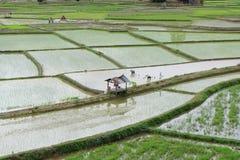 Asiatique de gisement de riz Photos stock