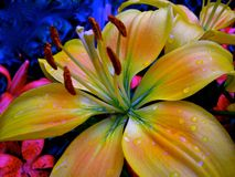 Asiatique lilly image stock