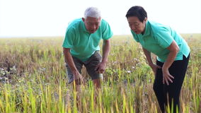 Asiatische ältere Videopaare, die ReisFeldfrüchte betrachten Bauernhof und landwirtschaftliches Geschäftsdetail stock footage