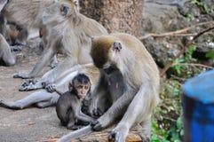 Asiatische Affefamilie, kleiner Makaken, der nahe zu seiner Mutter sitzt und Kamera betrachtet Stockfotografie