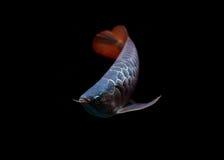 Asiatische Arowana Fische auf schwarzem Hintergrund stockfoto