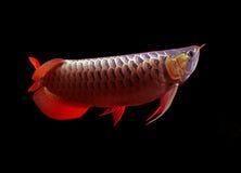 Asiatische Arowana Fische auf schwarzem Hintergrund stockbild