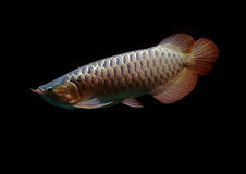 Asiatische Arowana Fische auf schwarzem Hintergrund Stockfotos