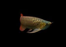 Asiatische Arowana Fische auf schwarzem Hintergrund stockfotografie