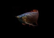 Asiatische Arowana Fische auf schwarzem Hintergrund lizenzfreie stockfotografie
