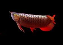 Asiatische Arowana Fische auf schwarzem Hintergrund Lizenzfreies Stockfoto