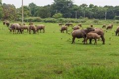 Asiatische Büffel Lizenzfreie Stockbilder