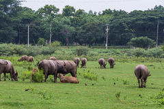 Asiatische Büffel Stockfotografie