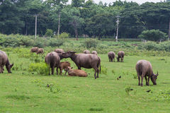 Asiatische Büffel Stockfoto