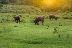Asiatische Büffel Lizenzfreie Stockfotos