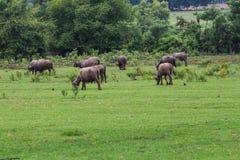 Asiatische Büffel Stockfotos