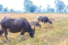Asiatische Büffelfamilie Stockfoto
