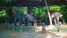 Asiatische Elefanten in den Tropen, Safari für Reisende und Touristen, Wege durch den Dschungel auf Elefanten stock video