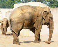 Asiatische Elefanten in der Gefangenschaft lizenzfreie stockbilder