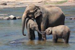 Asiatische Elefanten, die im Fluss baden Lizenzfreies Stockfoto
