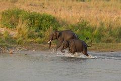 Asiatische Elefanten, die im Fluss spielen Stockbild