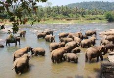 Asiatische Elefanten, die im Fluss Sri Lanka baden Lizenzfreie Stockfotos