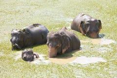 Asiatische Elefanten, Maha Oya Stockbild