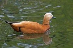Asiatische Ente Stockfotografie