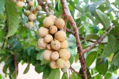 Asiatische Frucht: Lang-gesessen Lizenzfreies Stockbild
