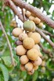 Asiatische Frucht: Lang-gesessen Lizenzfreie Stockbilder