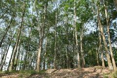 Asiatische Gummiplantage Lizenzfreies Stockfoto