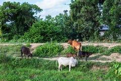Asiatische Kühe auf einem Gebiet an einem Bauernhof in Nakhon Ratchasima, Thailand Lizenzfreies Stockbild
