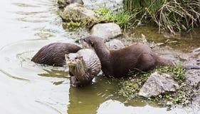 Asiatische kleine gekratzte Otter Stockfotos