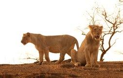 Asiatische Löwen Lizenzfreie Stockfotos