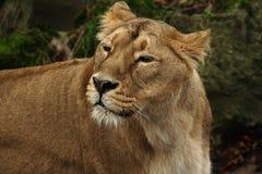 Asiatische Löwin stockfoto