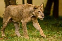 Asiatische Löwin auf dem Prowl Stockfotografie