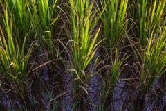 Asiatische Landschaft mit ricefield Stockbilder