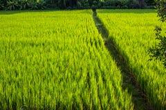 Asiatische Landschaft mit ricefield Stockfoto