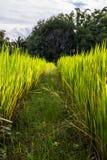 Asiatische Landschaft mit ricefield Lizenzfreie Stockbilder