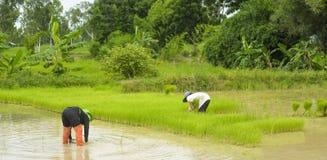 Asiatische Landwirte fischen auf einem Reisgebiet Stockbild