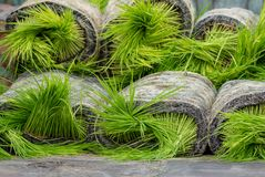 Asiatische Landwirttransplantations-Reiss?mlinge auf dem Reisgebiet, Landwirt lizenzfreies stockbild