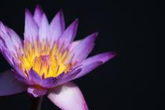 Asiatische Lilie Stockfotos