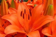 Asiatische Lilie, Lilium asiatisch stockfotos