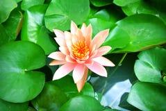 Asiatische Lotosblume im Wasser Stockbild