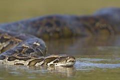 Asiatische Pythonschlange im Fluss in Nepal lizenzfreies stockbild