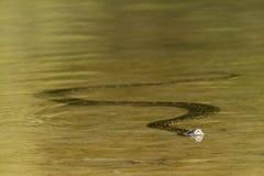 Asiatische Pythonschlangenschwimmen im Fluss, Nepal stockbild