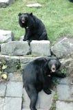 Asiatische schwarze Bären Lizenzfreie Stockfotografie