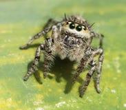Asiatische tropische springende Spinne Stockbild