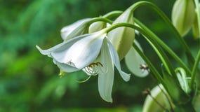Asiatische weiße Lilie Stockbild