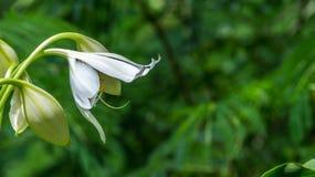 Asiatische weiße Lilie Lizenzfreie Stockfotos