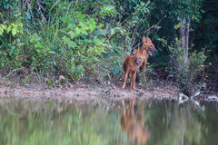 Asiatische wilde Hunde in der Natur Stockfotografie