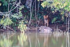 Asiatische wilde Hunde, die ein eurasisches wildes Schwein essen Lizenzfreie Stockbilder